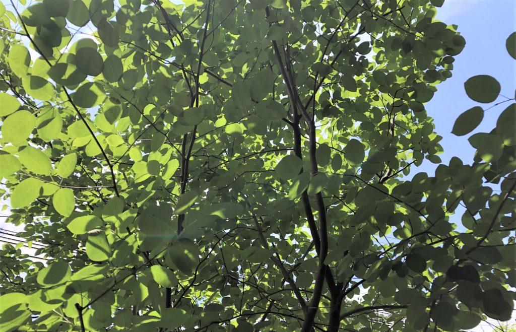 ブログ「モノオス」庭のジューンベリーを斜め下から上に向かって撮った画像