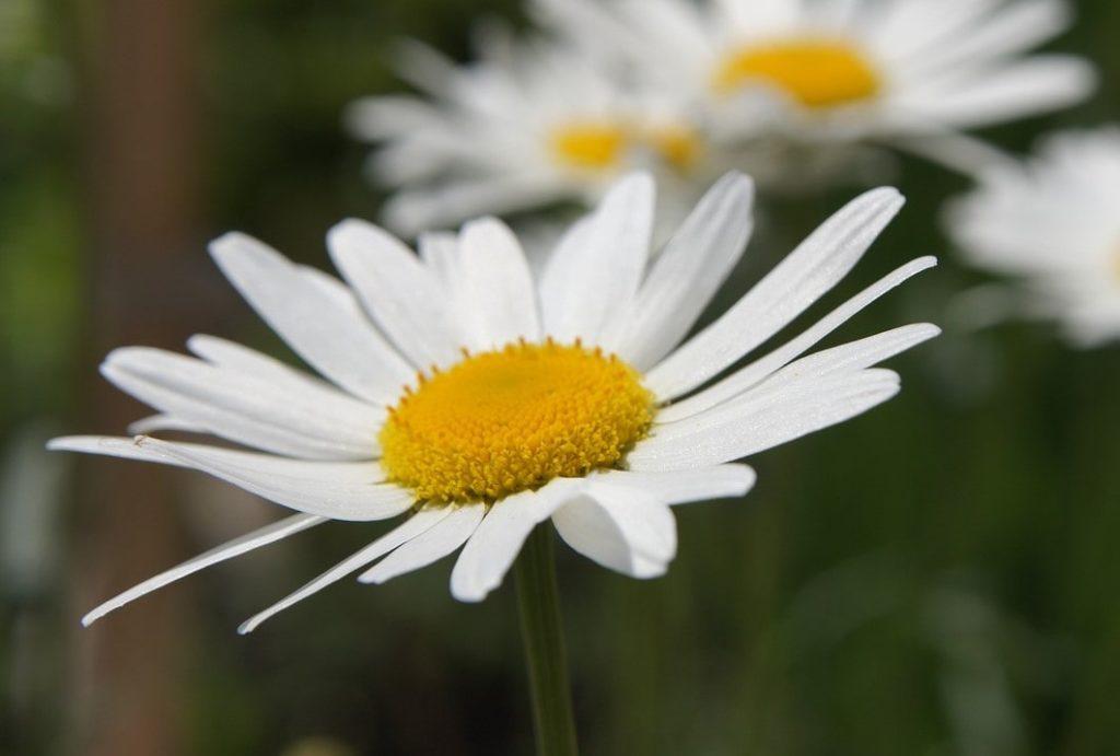 ブログ「モノオス」菊花せんこうに使用している除虫菊を撮った画像