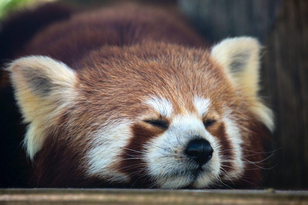 ブログ「モノオス」快適に働く手段として、昼寝することをおすすめする。レッサーパンダが寝ている画像