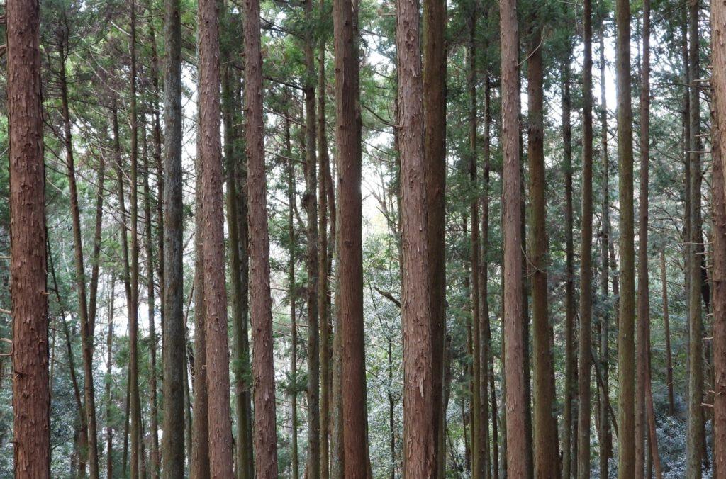 ブログ「モノオス」スギの人工林